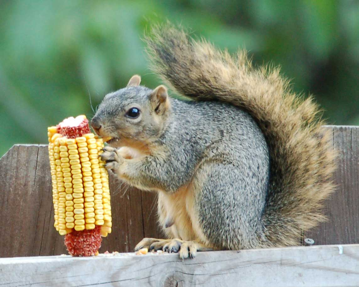 squirrels_wallpapers1